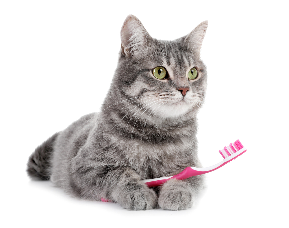 cat dog veterinary dental teeth cleaning